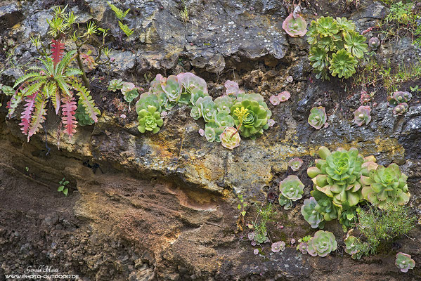 Die Aeoniumgewächse besiedeln die unwirtlichsten Felshänge