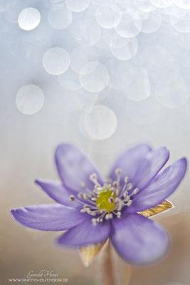 Sparkling bubbles: Kleine Trioplan-Spielerei mit einem Leberblümchen