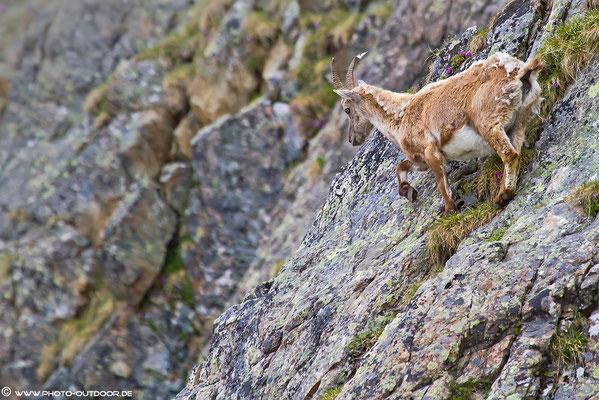 Ein Steinbock im Steilgelände. Nach einem Aufstieg von über 900 Höhenmetern und mit dem Tele vorne dran, werden die Photos endlich wieder scharf...