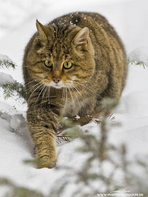 Keine leichte Aufnahmesituation: Die Wildkatze kommt frontal auf mich zu und ich musste durch leichtes Gebüsch fotografieren. Aber ich bin mit der Aufnahme zufrieden ;))