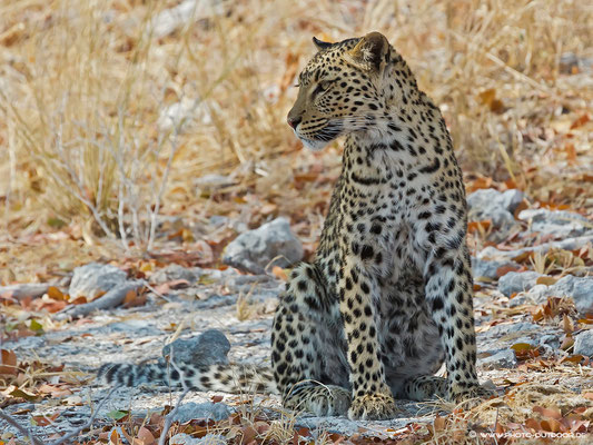 Grazile Leoparden-Dame, Etoscha-NP