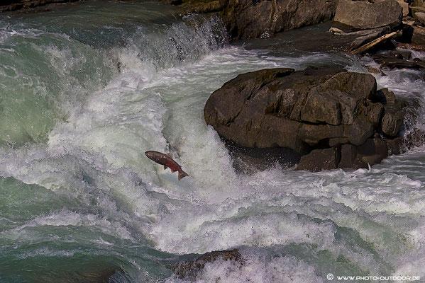 Ein Lachs kämpft bei den Rearguard Falls gegen die Stromschnellen.