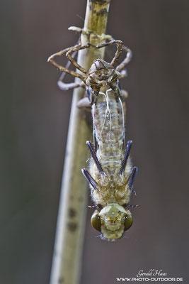 Frontale Ansicht der Libelle währtend des Schlupfes.