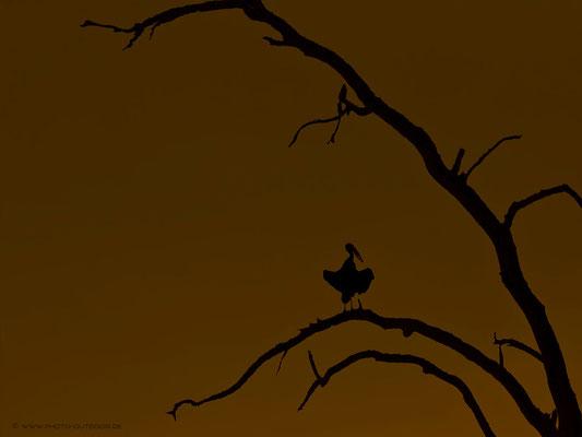 Marabu im Abendlicht