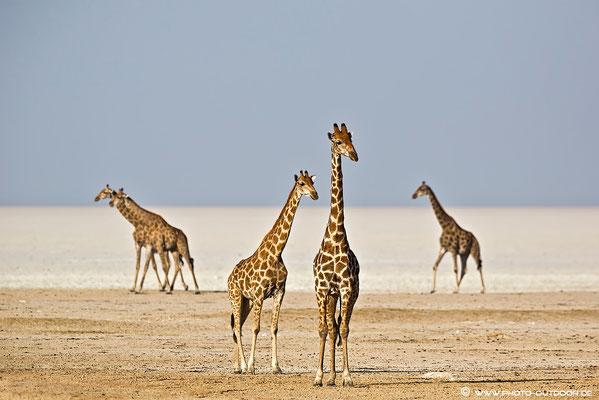 Full House: Fünf Giraffen am Rand von Etoschas Salzpfanne.
