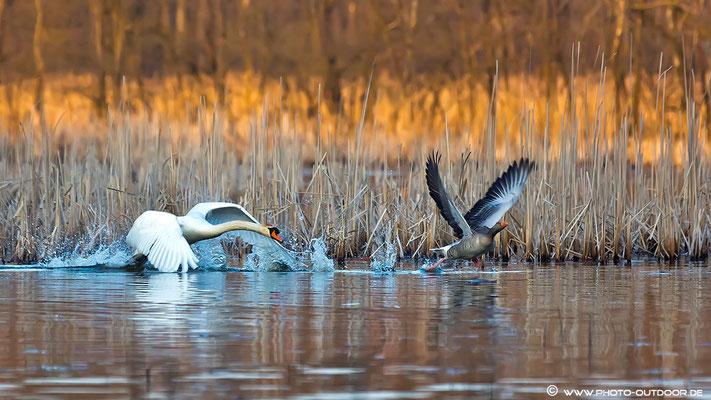 Der 10 ha große See ist einfach zu klein: 20 Minuten jagt der Schwan die Graugans quer über den See...