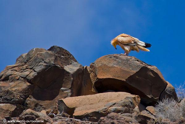 Schmutzgeier - eine kleine Population ist auf Fuerteventura zu finden