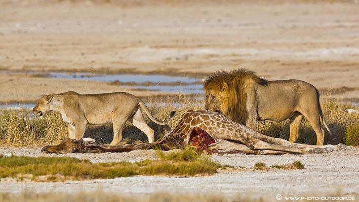 Am Riss einer Giraffe finden sich bis zu sechs Löwen ein. Mehrere Tage bewachen sie ihre Beute und vertreiben vehement jeden Schakal.