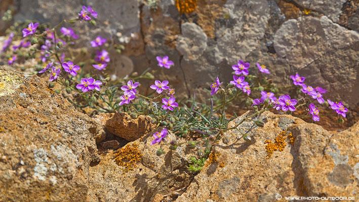 Wildblumen auf Fuerteventura