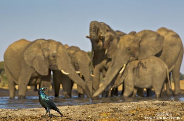 Es kann nur einen geben! Dieser Glanzstar wollte unbedingt auf´s Bild und hat sich vor die Elefanten gedrängt!