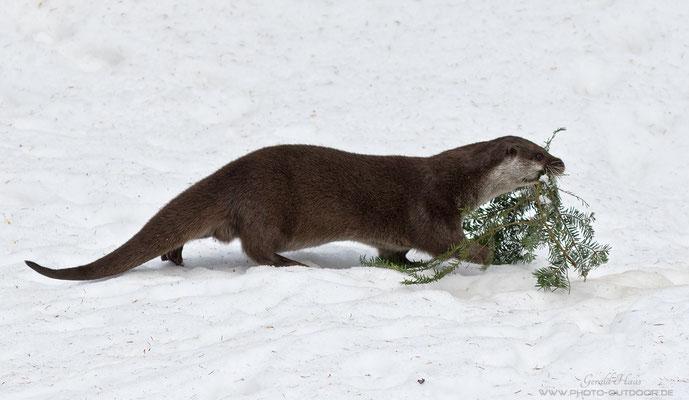 Wenn ich zum Objektivtest komme, feiert sogar der Fischotter Weihnachten und bringt den Baum nach Hause ;-) Wenn das kein Zeichen ist!!
