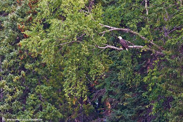 Ein Weißkopfseeadler am Bowron Lake.