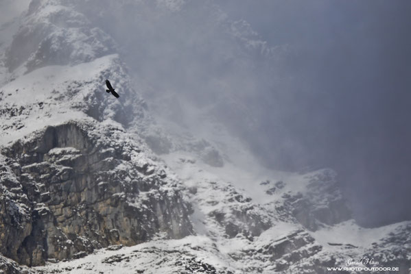 Ein Steinadler dreht seine Kreise vor den verschneiten Karwendelgipfeln.