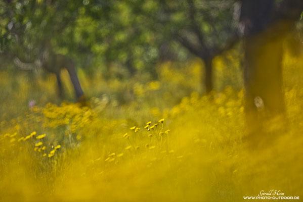 Dieses Bild verkörpert für mich Mallorca: Überall Blumen! In Deutschland inzwischen leider eine Seltenheit.