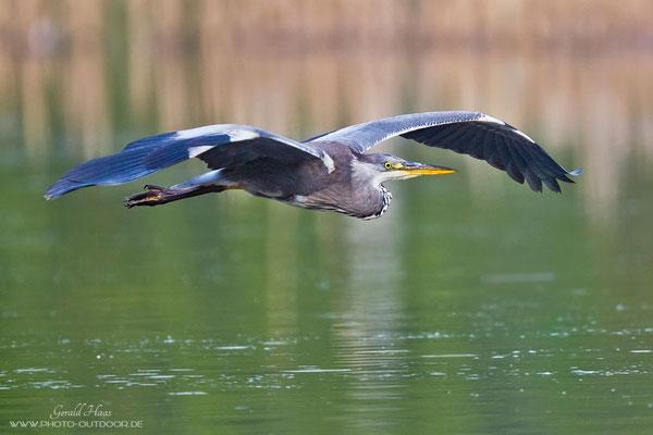 Der Autofokus ist auch in Verbindung mit dem 2fach-Konverter schnell genug für Flugfotos von Vögeln.