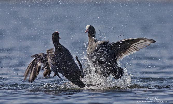 Zoff im Teich: Der Autofokus des Canon EF 300mm f/4 hat die Szene gut im Griff und liefert, auch wenn es heiß hergeht!