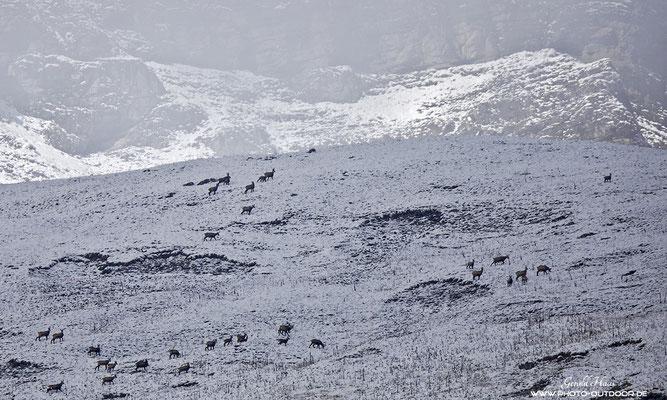 Über Nacht hat der Winter Einzug gehalten. Über 50 Gämsen zogen über diesen Höhenrücken!