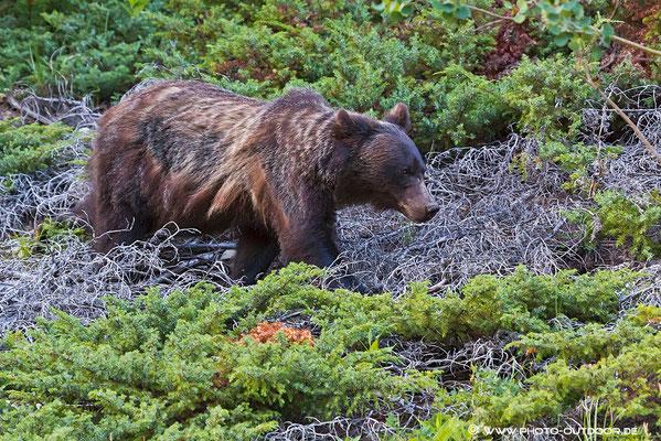 Mit beeindruckender Geschwindigkeit bahnt sich der Grizzly seinen Weg durch das Unterholz.