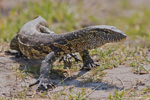 Nilwaran im Chobe-NP/Botswana