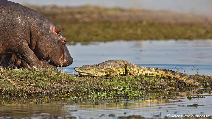 Hippo vs.  Croc: Wer ist der Stärkere?...