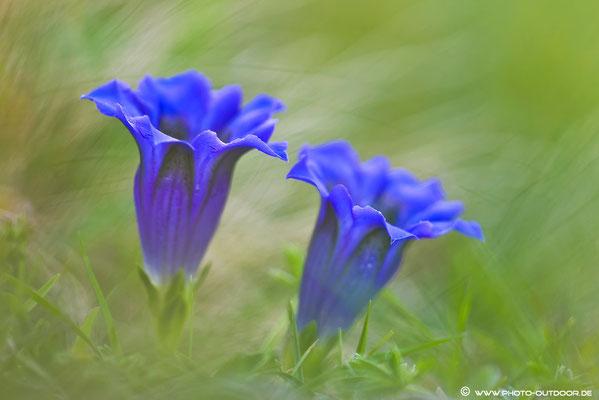 Diese seltenen, blauen Gänseblümchen haben wir gefunden. Die Elfen nutzen sie für ein heilendes Gebräu, aber sobald man zuviel davon genießt...