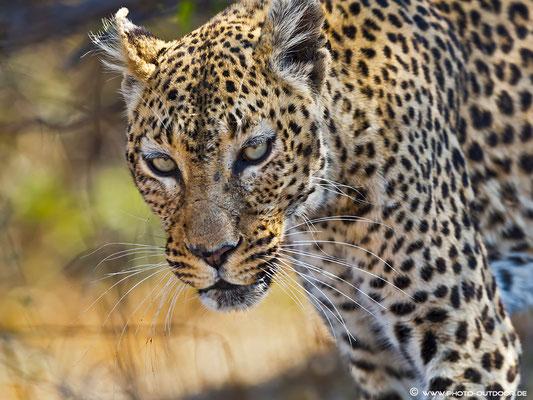 Leopardenporträit