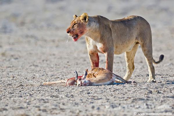 """Löwin nach erfolgreicher Jagd: Direkt neben dem Weg hat sie einen Springbock zur Strecke gebracht. Die wirklich """"harten"""" Szenen sind nicht für die Galerie geeignet..."""