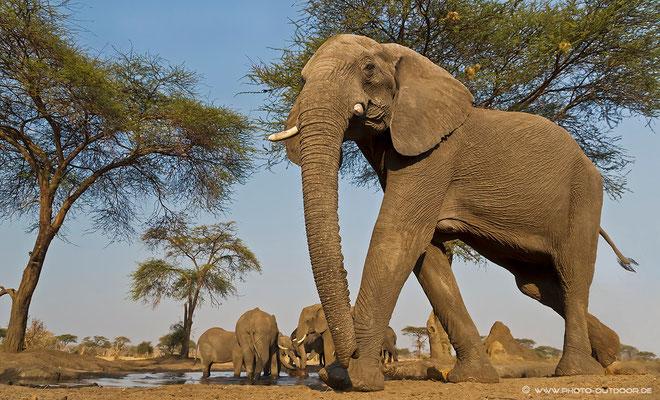 Klein wie eine Ameise fühlt man sich im bunker hide, wenn ein Elefant vorbeimarschiert.