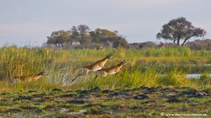 Leche-Antilopen auf der Flucht, Kwando River