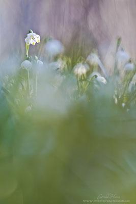 Die Märzenbecher sind nicht unbedingt einfach zu fotografieren: Der Standort liegt in einem ziemlich sumpfigen Gebiet (schlecht gelaufen für den Photographen ;))