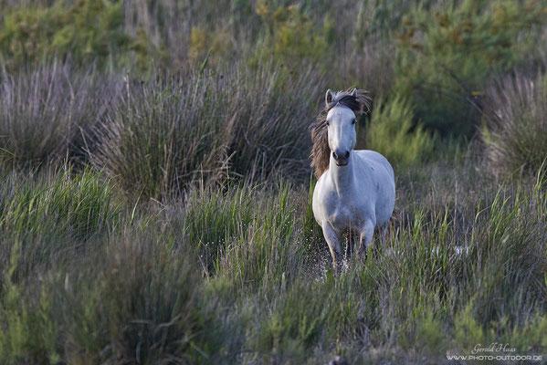 Weiße Pferde in s´Albufera.