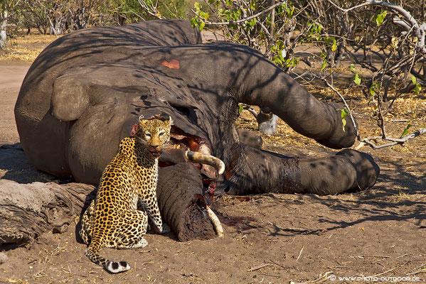 Leopard beim Fressen am verendeten Elefanten im Chobe-Nationalpark.