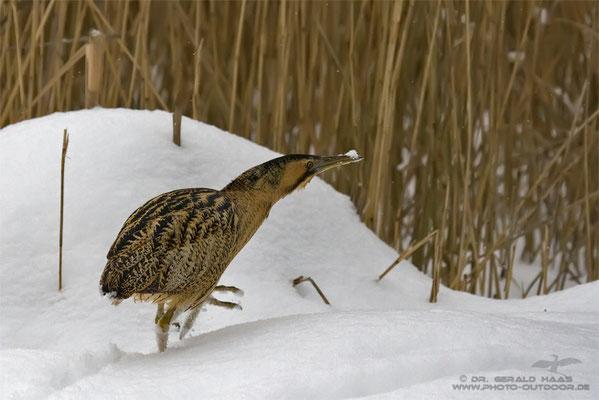 Große Überraschung beim (vergeblichen) Ansitz auf Eisvogel: die seltene Rohrdommel kommt vorbei!!