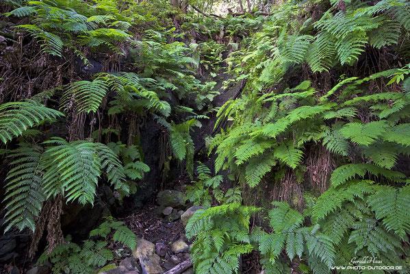 Gigantische Farnwedel im Urwald von Los Tilos