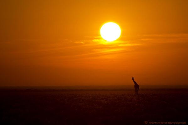 Wie aus dem Bilderbuch: Eine Giraffe schreitet unter der Morgensonne durch die Steppe.