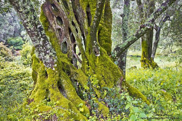 Die Olivenbäumen Korfus mit ihren faszinierenden Strukturen
