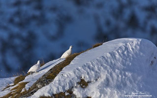 Kurz nach Sonnenaufgang kommen die Schneehühner zum Vorschein