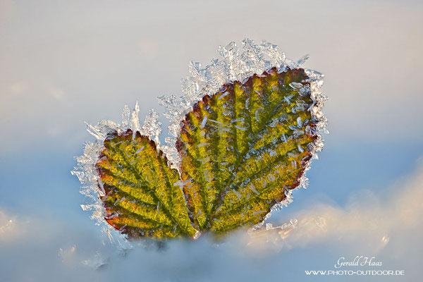 Ein Brombeerblatt ragt aus dem Schnee und hat über Nacht ein paar Eiskristalle angesetzt