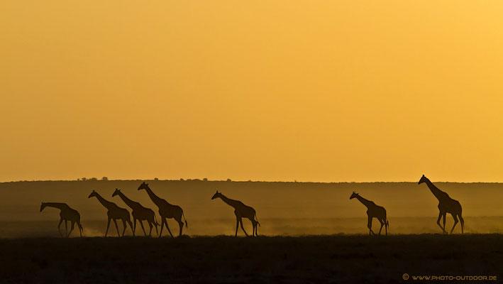 Eine Giraffenkarawane kurz vor Sonnenuntergang