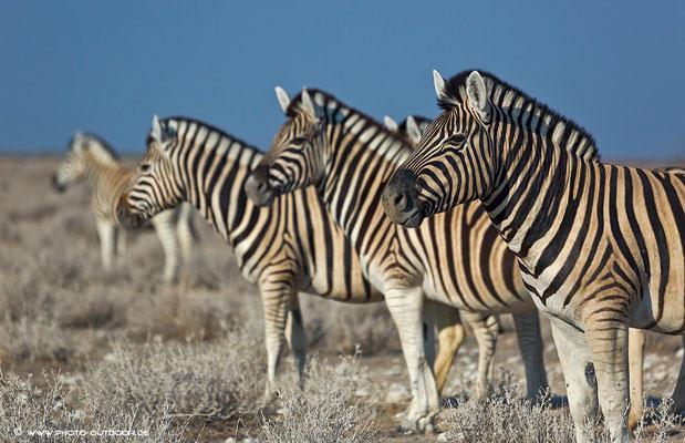 Zebra-Parade