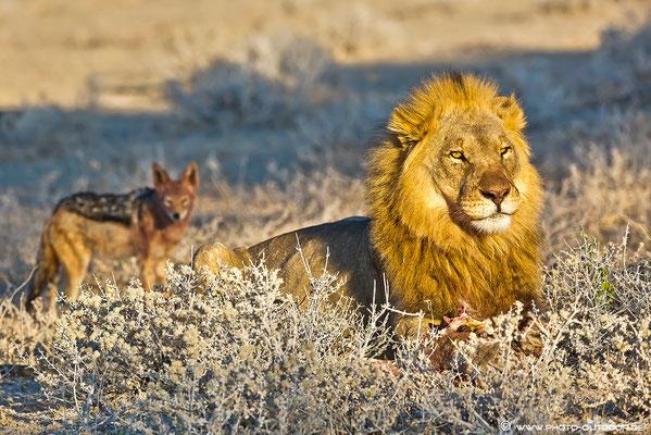 Im Schatten des Königs: Ein Schakal lauert auf seine Chance, am großen Fressen teilhaben zu können.