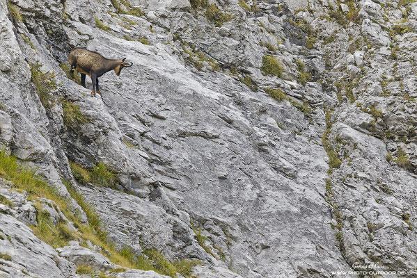 Kletterkünstler in Karwendel: Die Trittsicherheit der Gämsen ist unglaublich!