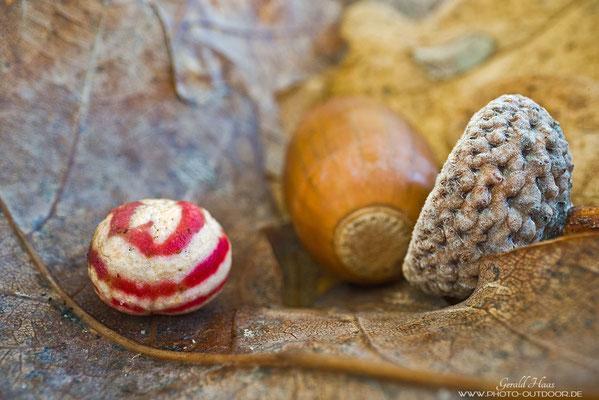 Der Gallapfel der gemeinen Eichengalllwespe sieht aus wie ein Bonbon...