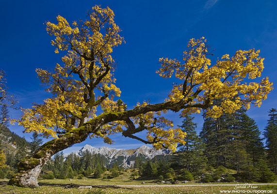 Ahornbaum vor den Bergen des Karwendels.
