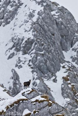 Eine Gams hat einen Felsrücken bestiegen und hält Ausschau.