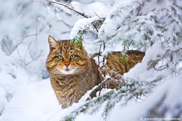 Wildkatze: Look into my eyes!