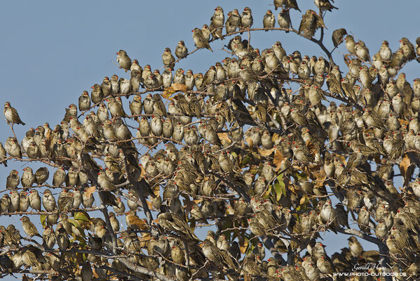 Wenn sich ein Schwarm von tausenden Blutschnabelwebern gleichzeitig auf eine Baum niederlässt, sackt dieser regelrecht in sich zusammen...
