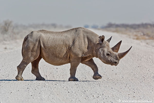 Rhino-Crossing: Die Vorfahrt ist in diesem Fall klar geregelt...