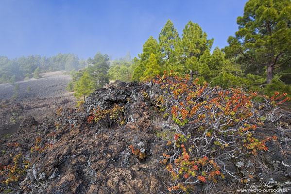 Nebel umspielt die Pinien am Vilkan Biri Goyo