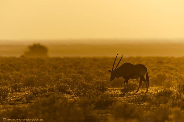 Oryx im Abendlicht